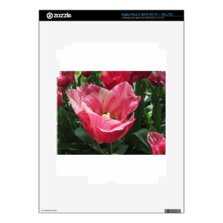 Closeup of streaked tulip in spring decals for iPad 3