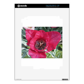 Closeup of streaked tulip with droplets in spring decal for iPad 2