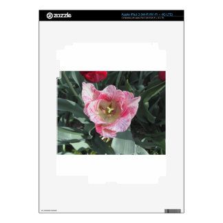 Closeup of streaked tulip with droplets in spring decal for iPad 3