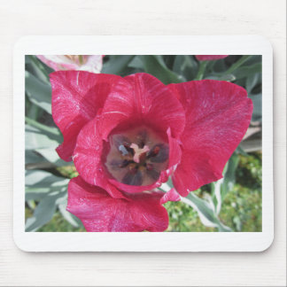 Closeup of streaked tulip with droplets in spring mouse pad