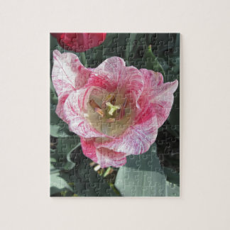Closeup of streaked tulip with droplets in spring puzzle