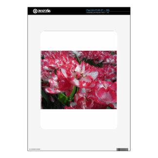 Closeup of streaked tulips with droplets in spring decal for the iPad