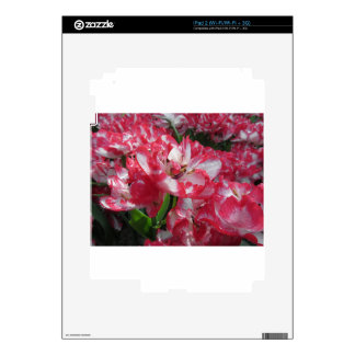 Closeup of streaked tulips with droplets in spring iPad 2 skin