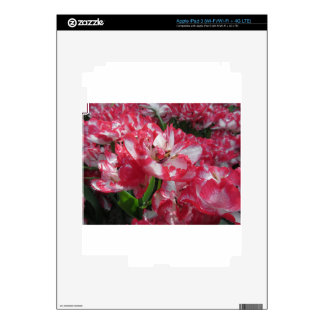 Closeup of streaked tulips with droplets in spring iPad 3 skin