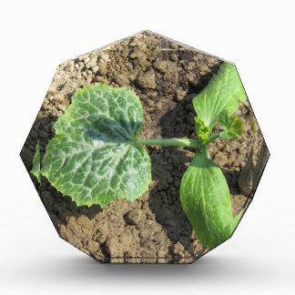 Closeup of young cucumber plant in the garden acrylic award