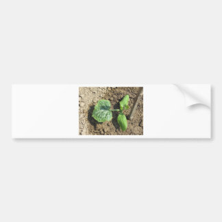 Closeup of young cucumber plant in the garden bumper sticker