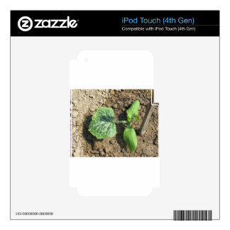 Closeup of young cucumber plant in the garden decal for iPod touch 4G