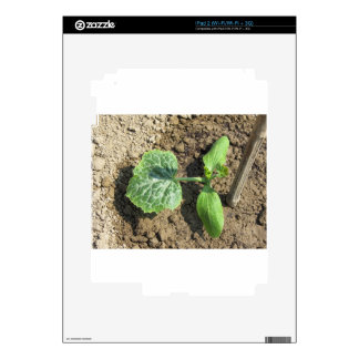 Closeup of young cucumber plant in the garden iPad 2 skin