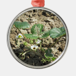 Closeup of young strawberry plant in blossom metal ornament