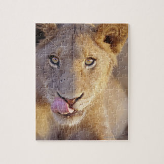 Closeup portrait of a young male lion lying jigsaw puzzle
