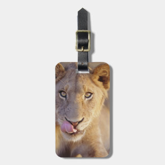 Closeup portrait of a young male lion lying luggage tag