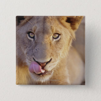 Closeup portrait of a young male lion lying pinback button