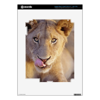 Closeup portrait of a young male lion lying skins for iPad 3