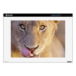 """Closeup portrait of a young male lion lying skin for 15"""" laptop"""