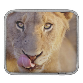 Closeup portrait of a young male lion lying sleeves for iPads