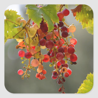 Closeup red grapes among leaves square sticker