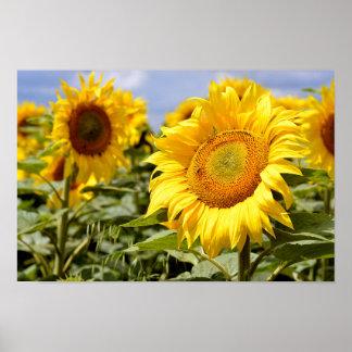 Closeup sunflower poster