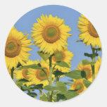 Closeup sunflowers classic round sticker