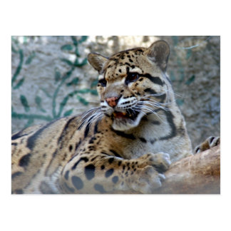 clouded leopard-1 4x6 postcard