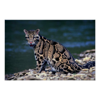 Clouded Leopard-eye contact Print