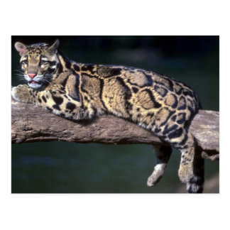 Clouded Leopard on log Postcard