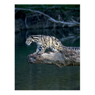Clouded leopard postcard