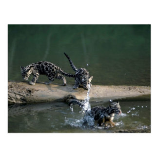 Clouded Leopard-small cub leaping from log to rive Postcard