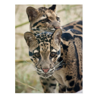 Clouded leopards postcard