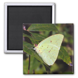 Cloudless Sulphur 02/13 2 Inch Square Magnet