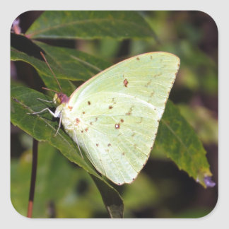 Cloudless Sulphur 02/13 Square Sticker