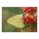 Cloudless Sulphur Butterfly Note Card