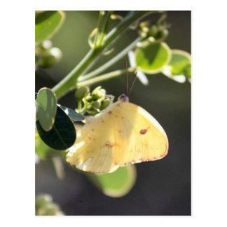 Cloudless Sulphur Butterfly Photo Postcard