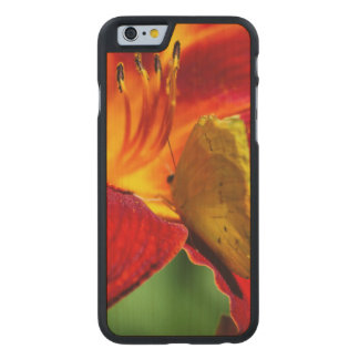 Cloudless Sulphur Phoebis Sennae Carved® Maple iPhone 6 Case