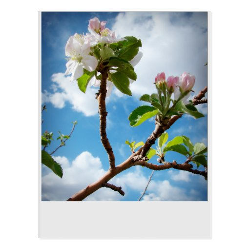 Clouds and Blossoms Postcard