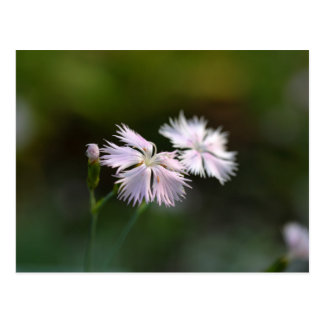 Clove Pink (Dianthus caryophyllus) Postcard