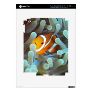 Clown anemonefish 3 decals for iPad 3