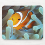 Clown anemonefish 3 mouse pads