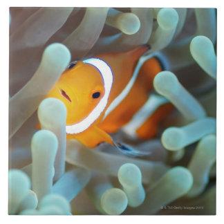 Clown anemonefish 3 tile