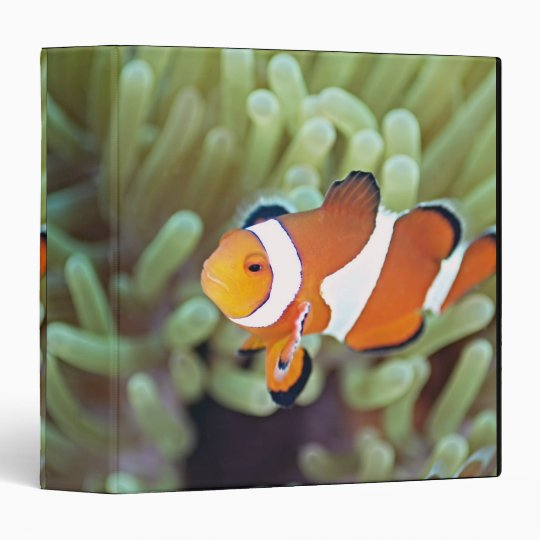 Clown anemonefish 4 binder