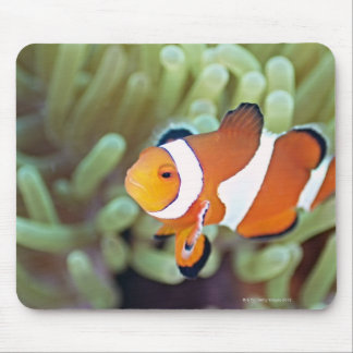 Clown anemonefish 4 mouse pad