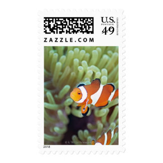 Clown anemonefish 4 postage