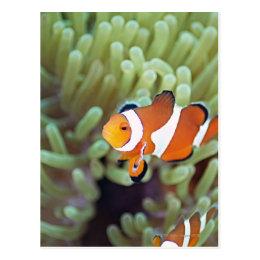 Clown anemonefish 4 postcard