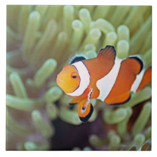 Clown anemonefish 4 tile