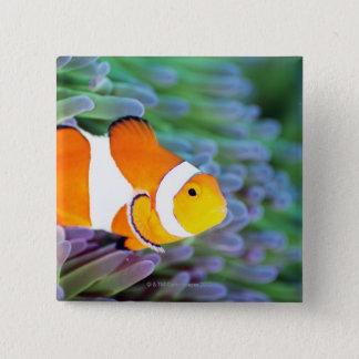 Clown anemonefish button