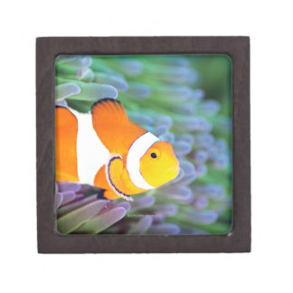 Clown anemonefish jewelry box