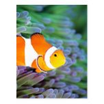 Clown anemonefish postcard
