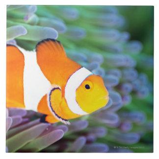 Clown anemonefish tile