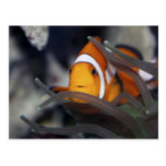 Clown-fish in anemone postcard