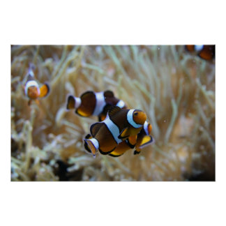 Clown Fish in Reef Poster
