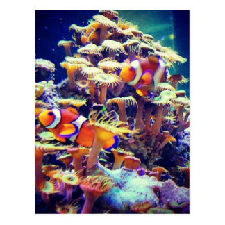 Clown Fish Postcard